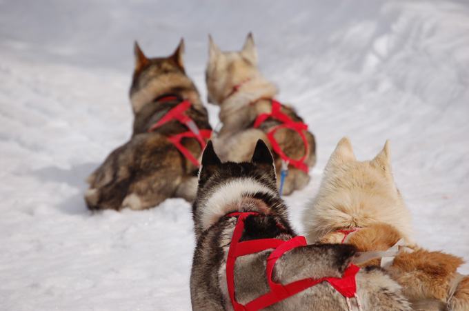 chiens de traineaux canada