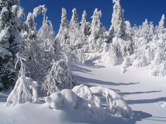 sapins du quebec en neige