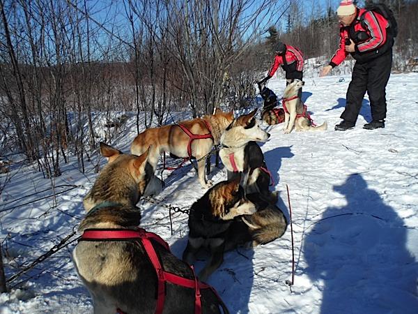 chiens de traineaux au Canada