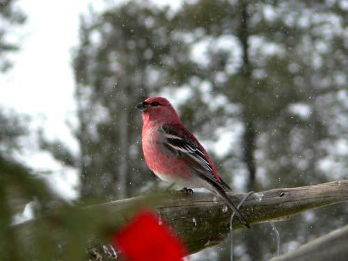 Oiseau Canada