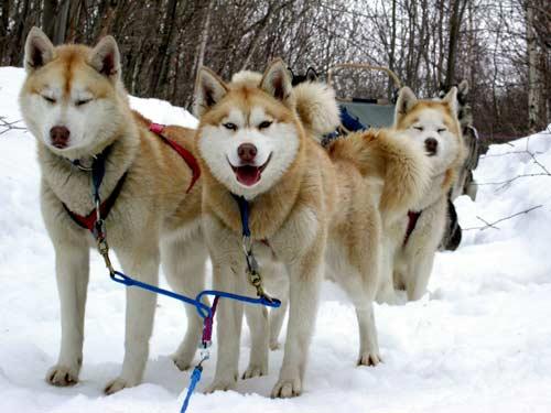 chiens traineaux