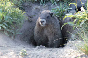 terrier de marmotte