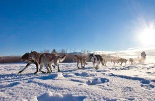 chiens de traineau canada