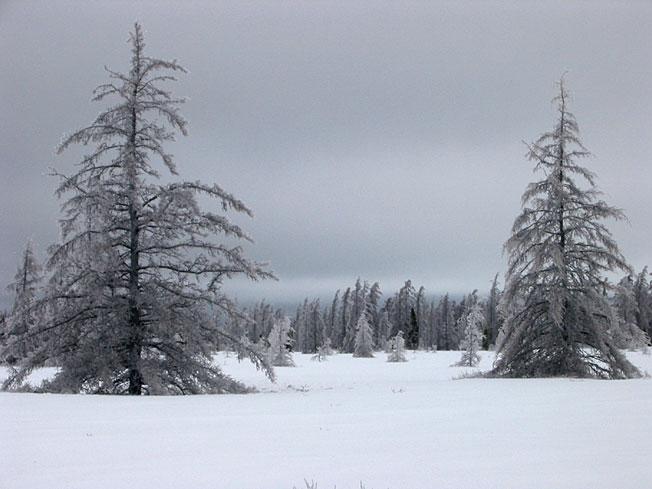 Foret dans la neige