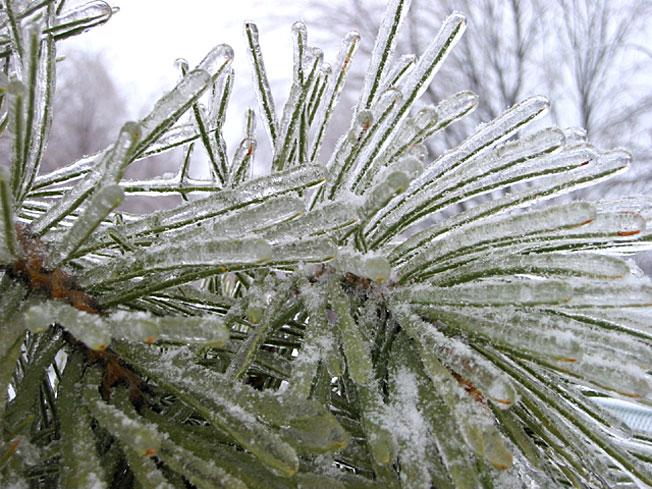 Branche de pin gelé