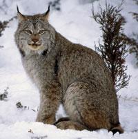 Lynx du canada en hiver