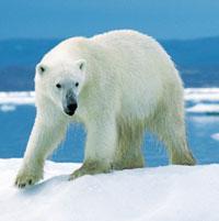 Ours blanc du canada