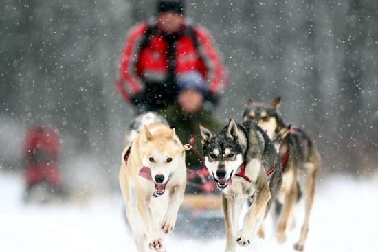 attelage chien de traineau au quebec