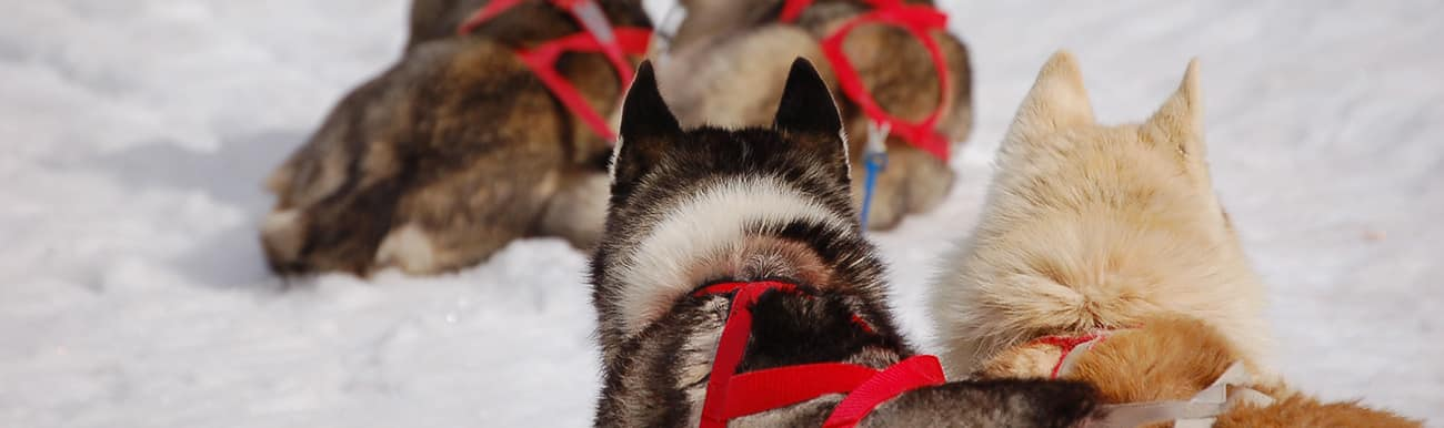 chien traineau quebec