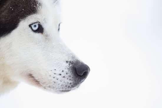 chien de traineau au canada