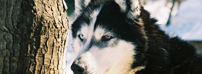 les chiens de traineaux au canada un univers a decouvrir