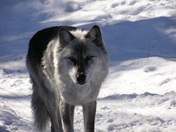 Un loup en hiver au Québec