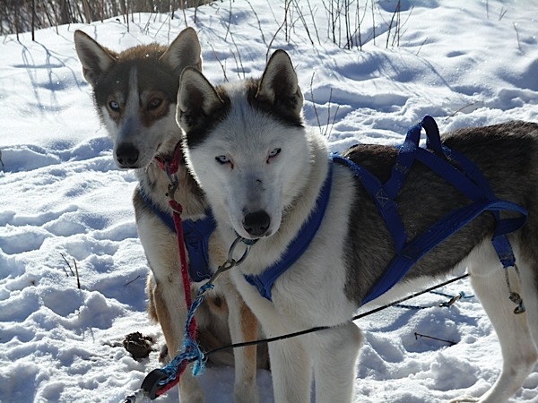couple huskys