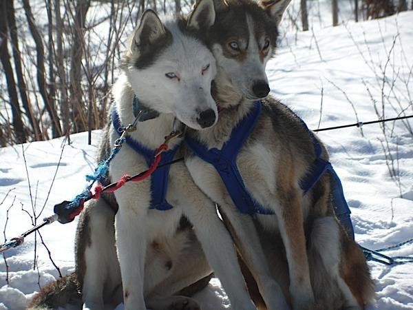 chiens amoureux