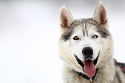 chien canada