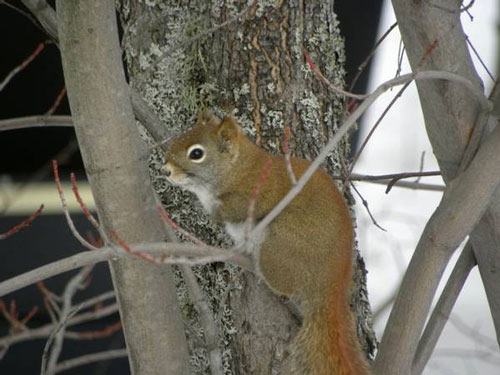 ecureuil perche
