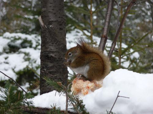 ecureuil canadien