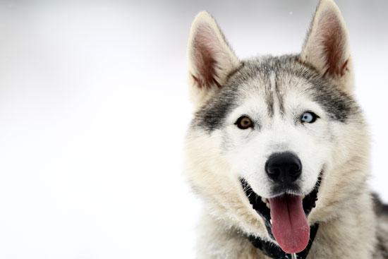 Photos chien de traineau et fond d 39 cran anf - Coloriage chien de traineau ...