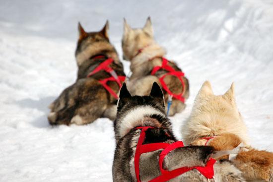 attelage chien de traineau