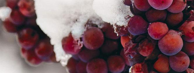 raisin rouge sous la neige
