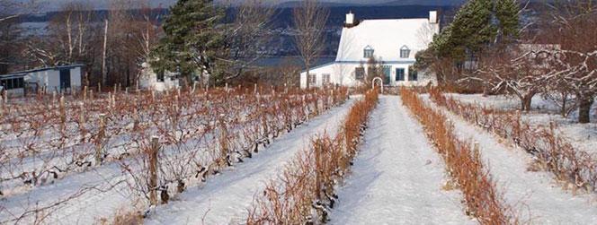 Vignoble quebec sous la neige