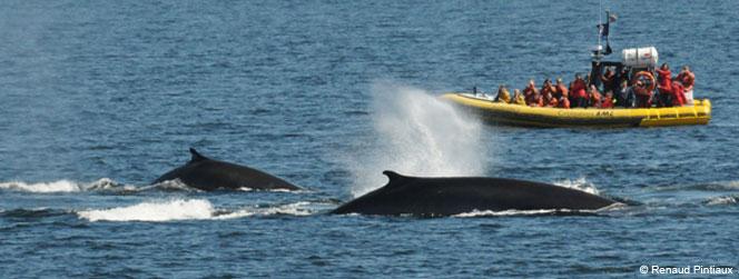 activité baleine tadoussac