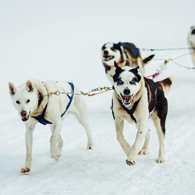 attelage de chiens de traineau