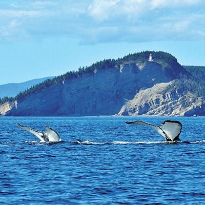 Baleine Forillon Tadoussac