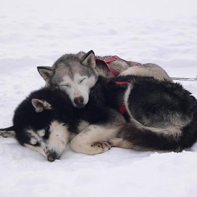 chiens de traineau au canada