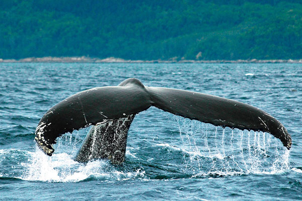 baleine charlevoix