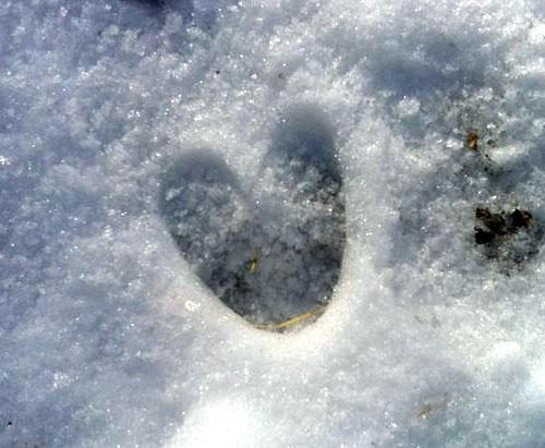 trace chevreuil neige