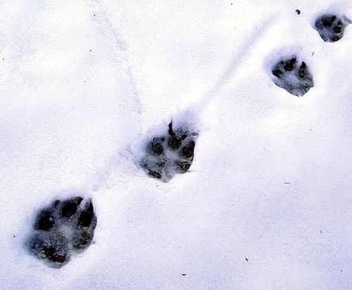 trace loup neige