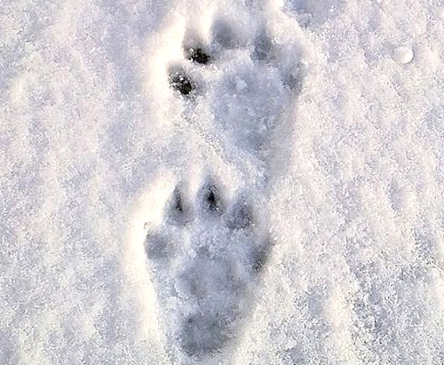 trace loutre neige