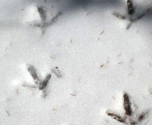 trace perdrix neige
