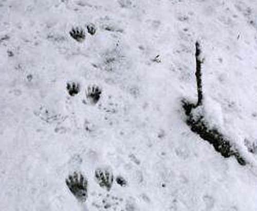 trace raton-laveur neige