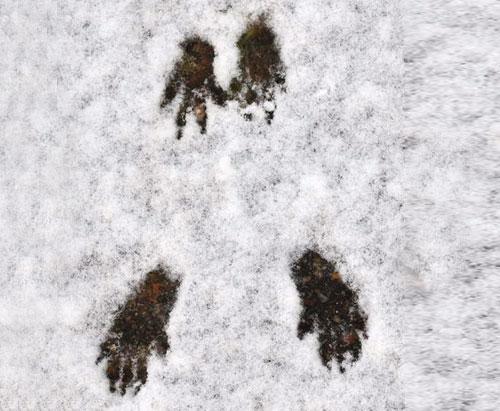 Trace d'écureil neige
