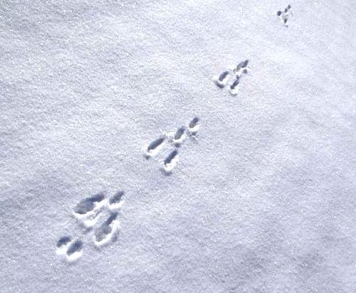 trace lièvre neige