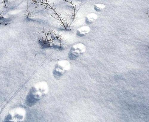 trace lynx neige