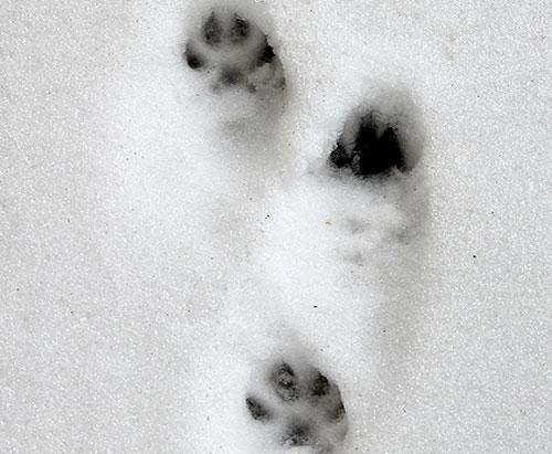 trace martre neige