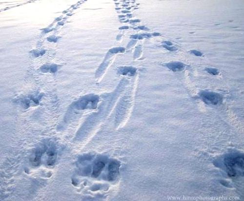 trace caribou neige