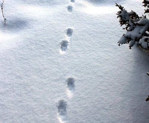 trace renard neige