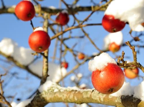 pomme dans la neige
