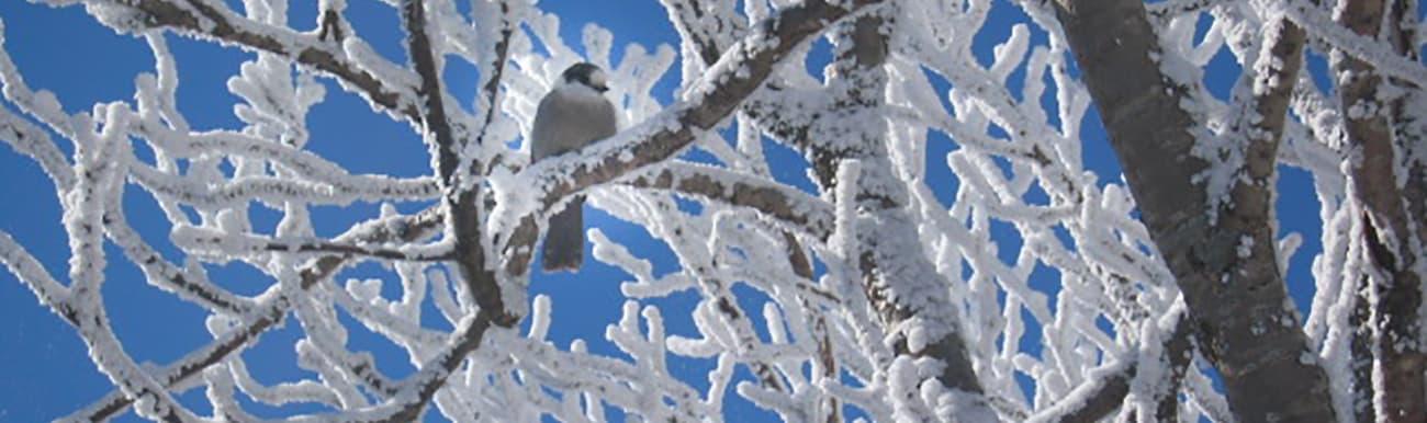 oiseau hiver quebec