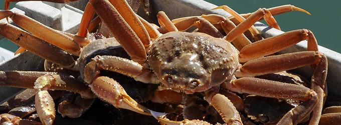 crabe des neiges du quebec