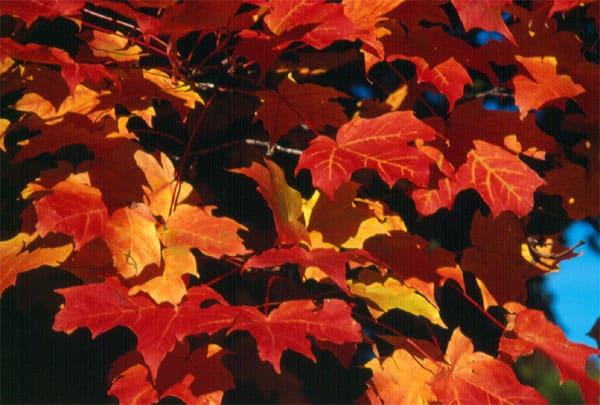 feuille erable automne