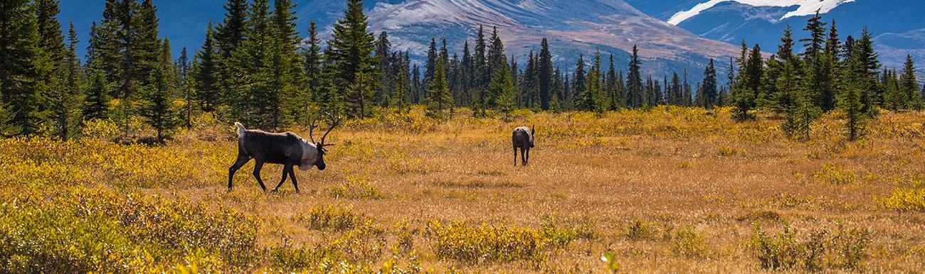 caribou au canada