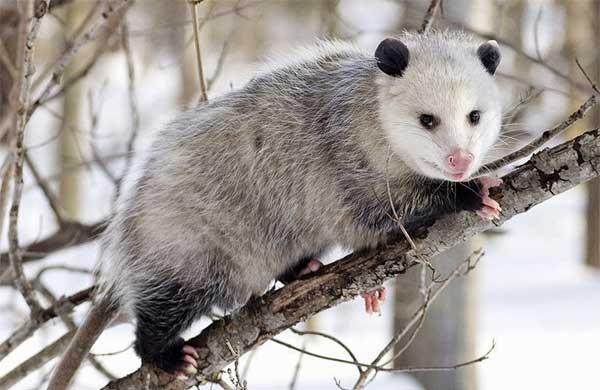 Opossum d'Amérique du Nord