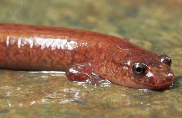salamandre pourpre
