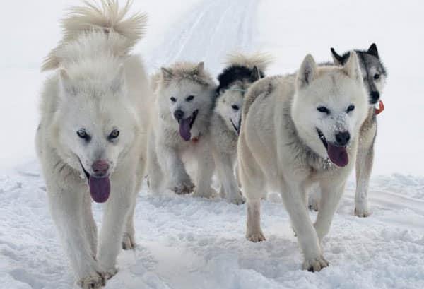 chien de traineau groenlandais