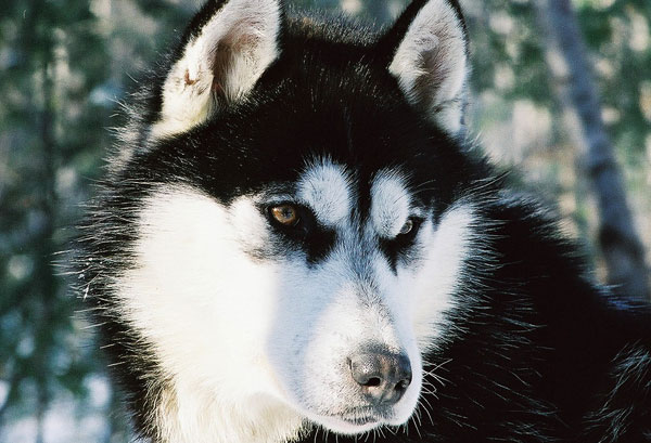 chien de traineau husky